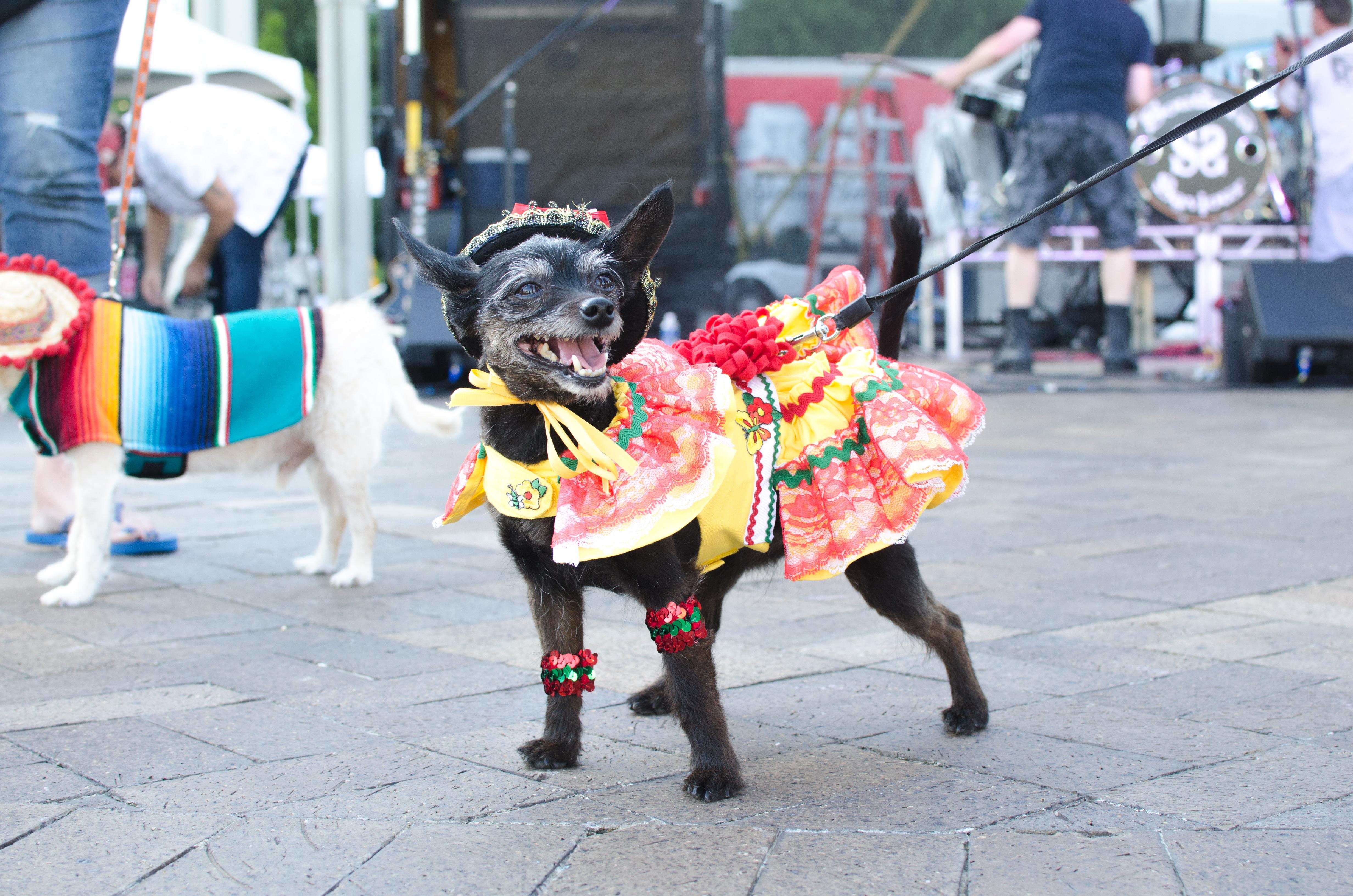 cincinnati taco festival chihuahua contest