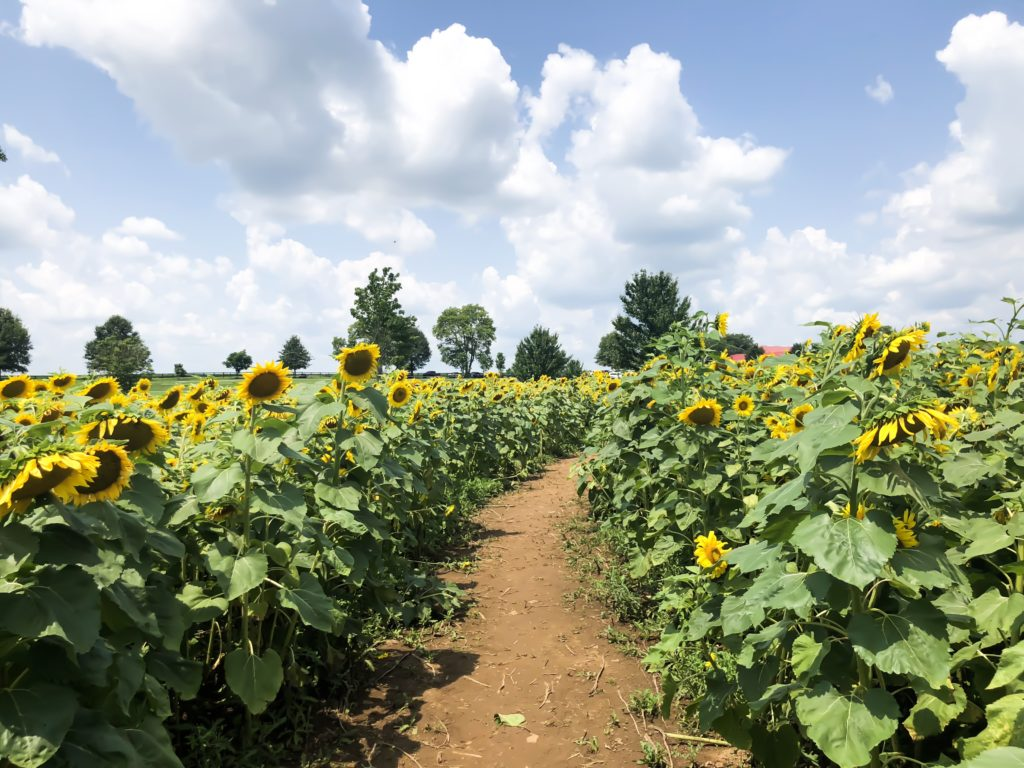 It's the beginning of August and summer is slowly coming to an end. Before we know it, it will be fall, which is my favorite season! However, there are still a couple of weeks left before it's officially fall, so we might as well take advantage of what summer has to offer, while we can! #visitlex #kentucky #sunflowers #summer #celebrate #list #lexingtonky #outdoors #nature